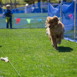 golden retriever chasing toy