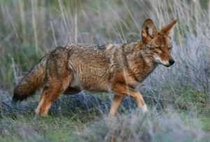 Learn how to prevent coyotes from coming into your yard.