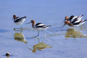 Four birds wade through a body of water