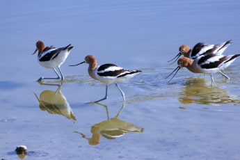 Four birds wade through a body of water
