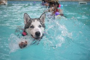 Siberian husky splashes playfully in a pool as it swims toward the camera