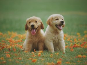 Two yellow labs sit in the grass